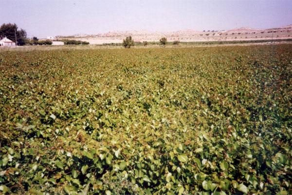 plantacion-de-vinas-patrones-viticolas