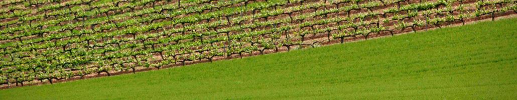 plantacion de vinas