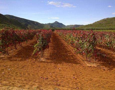 plantacion-de-vinasnumero-de-plantas-por-hectarea